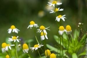 Vízhajtó, élénkítő és emésztést segítő gyógynövények