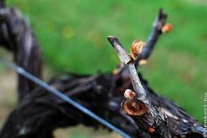 A szőlő metszése: ernyőművelés bemutatása videón