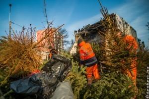 Hogyan hasznosíthatók a kidobott karácsonyfák?
