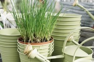 Hogyan termesszük a párkányon metélőhagymát?