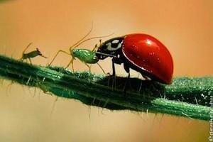 Zöldségfélék biológiai növényvédelme: levéltetű, burgonyabogár, tripsz