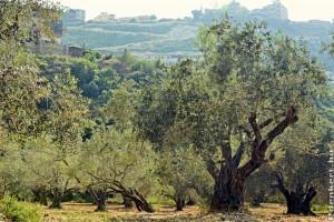 Olajfa: a gyógyítók és szentek fája