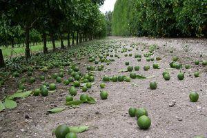 Miért fontos a termésritkítás?