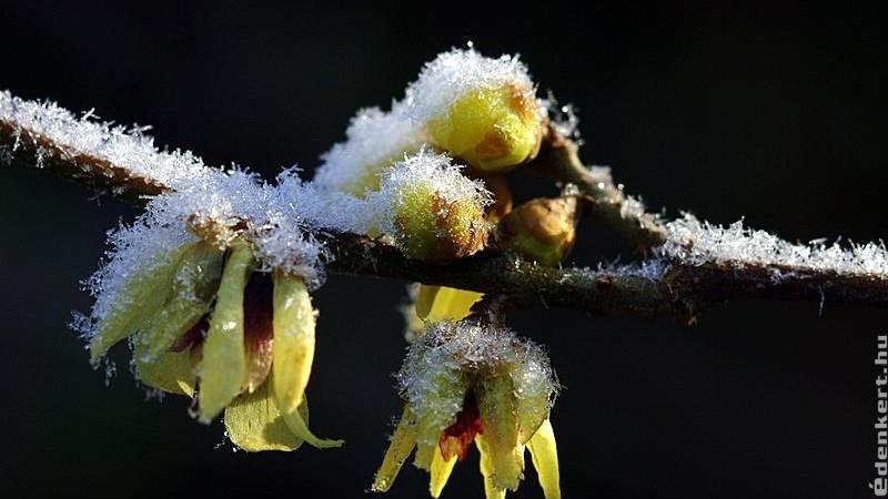 Varázslatos téli illatok a kertben