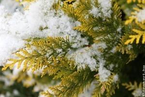 Az örökzöldeket télen is öntözni kell!