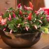 November szobanövénye: Kaktusz ünnepi öltözetben