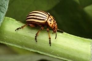 Hogyan védekezzünk a burgonyabogár ellen?