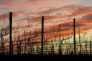 Hogyan védjük a  fáinkat és a szőlőnket a fagyoktól?