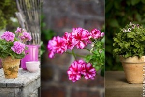 Muskátli típusok: kerti, futó, angol, illatos - ismerd meg, mit szeretnek!