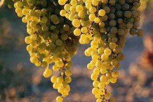 Miért ültessünk bio csemegeszőlőt?