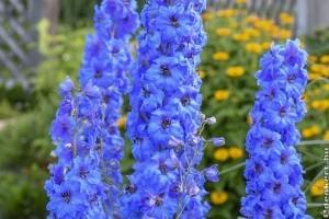 Hogyan gondozzuk virágoskertünk díszét, a szarkalábat?