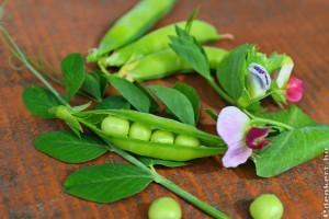 Zöldborsó termesztése: fajták és vetés