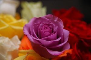 Hogyan nemesítik a rózsát?