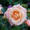 Hogyan és mikor metsszük a rózsát?