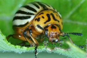 Növényvédelem: levéltetvek, burgonyabogár és virágtripsz
