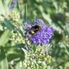 Melyek a legszebb, késő nyáron is virágzó cserjék?