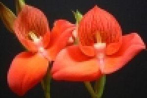 Ismerkedjünk a DISA-orchideával!