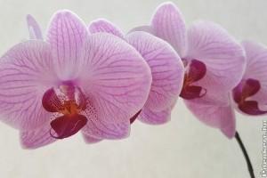 Hogyan tartsuk a lepkeorchideát (Phalaenopsis)?