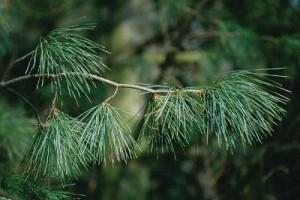 Örökzöld szépség: a Kanadai selyemfenyő