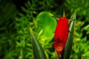 Hogyan legyen szép  cserepes Gnoxíniánk (Gloxinia sylvatica)?