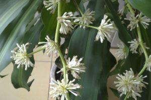 Hogyan bírjuk virágzásra a Yukkánkat?