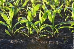 Hogyan termesszünk csemegekukoricát?