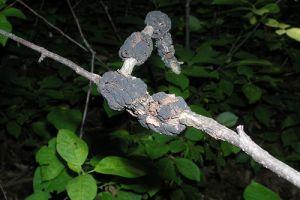 A szilvafa fekete daganatos betegsége