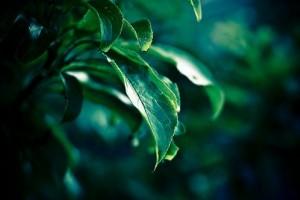 Miért kell megtisztítani szobanövényeink leveleit?