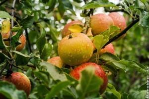 Hogyan metsszük az almafánkat?