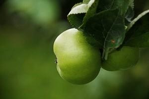 Az almafák metszése és védelme