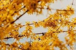 Az aranyvessző (aranyeső) gondozása, metszése