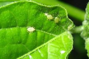 A zöldpaprikát megtámadó kártevők és betegségek