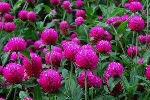 Miért annyira kedvelt virág a bíborka (Gomphrena globosa)?