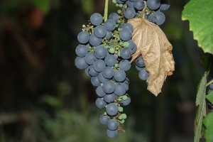 Mi szükséges a sikeres szőlőtermesztéshez? - 1. rész
