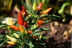 Minden, amit a chili paprikáról tudni kell - 2. rész
