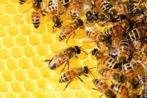 A méhpempő: miért annyira értékes gyógymód?