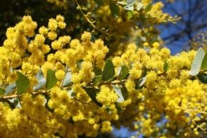 A sárga virágú fák - Akáciák