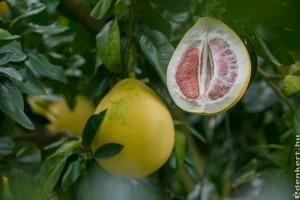 Pomelo, a legnagyobb termésű citrusféle