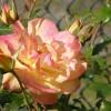 A rózsabokrok gondozása lépésről lépésre - 1. rész