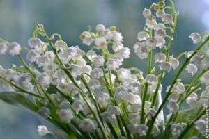 Gyöngyvirág gondozása (Convallaria majalis)