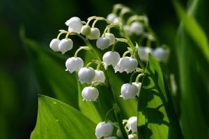 A gyöngyvirág használata és mellékhatásai