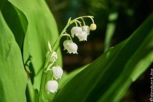 A gyöngyvirág termesztése lépésről lépésre