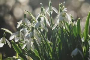 Kedvencünk a hóvirág, a tavasz hírnöke