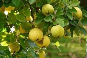 Édeni gyümölcs a birsalma