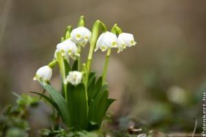 Nyílik a tavaszi tőzike (Leucojum vernum)