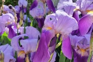 Az írisz vagy nőszirom virágzásának meghosszabbítása