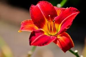 Évelő növények műtrágyázása