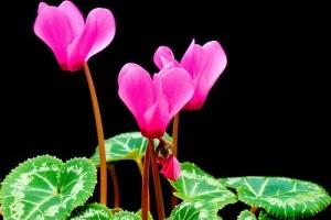 Virágzó szobanövények: a szobaciklámen (Cyclamen persicum)
