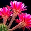 Kaktuszok havi munkanaptára - május, június