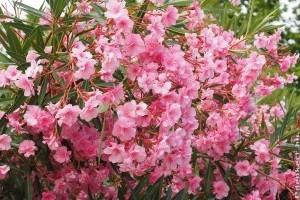 Hogyan bírjuk virágzásra a leanderünket?
